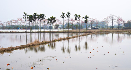 paddy field: Paddy field and trees reflection