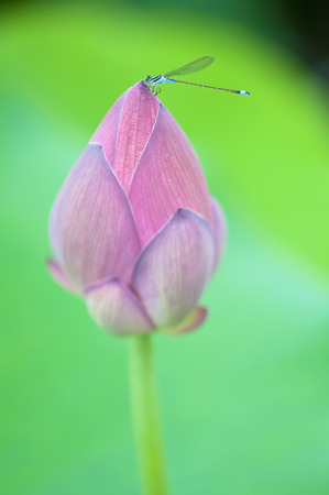 Parked on a pink lotus dragonfly photo