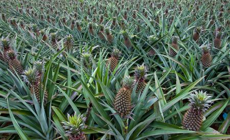 pineapple fruit field Standard-Bild