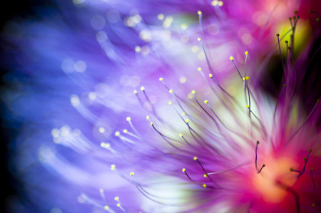 powder puff: pink powder puff flower and blue background Stock Photo