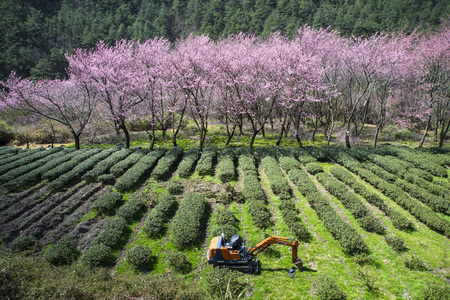 rea: cherry blossom and rea tree in the Wuling-Farm in Taiwan