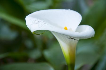 Little Spider on white calla flower Stock Photo