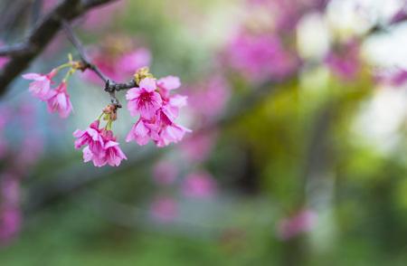 red Cherry blossom closeup Stock Photo