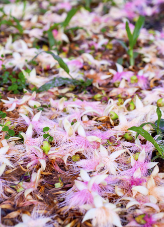 powder puff: Montreal is withered pink powder puff flower Stock Photo