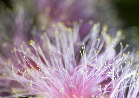 barringtonia: pink powder puff flower and blue background Stock Photo
