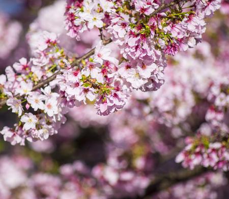 Closeup pink cherry under the sun