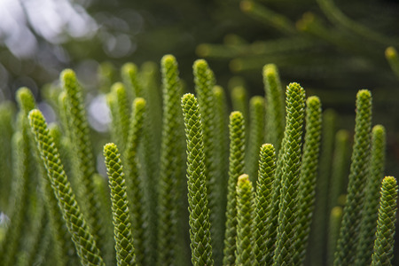 Green pine closeup