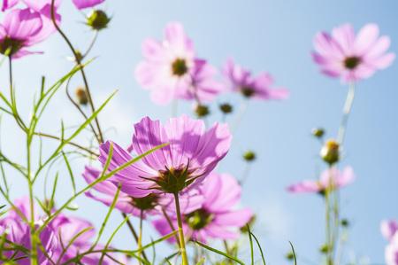 Purple cosmos flower closeup Stock Photo