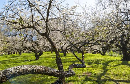 Plum beautiful garden in the sun Standard-Bild - 111854597