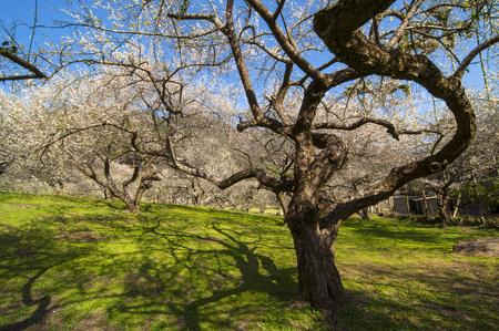 Plum beautiful garden in the sun Standard-Bild - 111854602