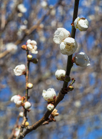 Spring background with white plum flowers Standard-Bild - 116605084
