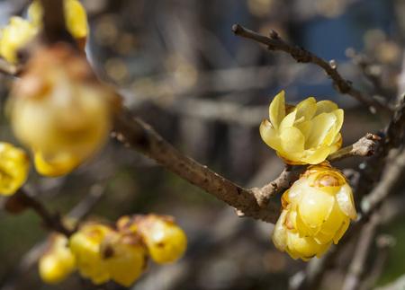 Yellow plum flowers closeup Standard-Bild - 116607183