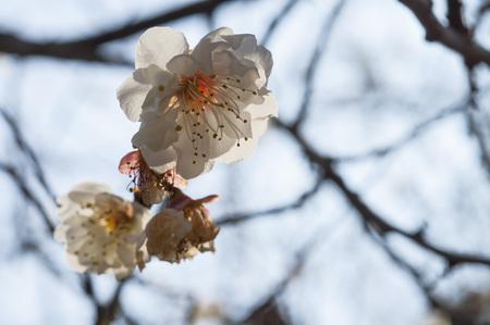 Spring background with white plum flowers Standard-Bild - 116607195