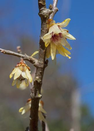 Yellow plum flowers closeup Standard-Bild - 116607200