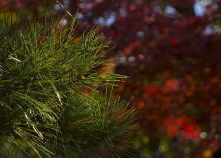Green pine closeup under the sun Standard-Bild - 129295125