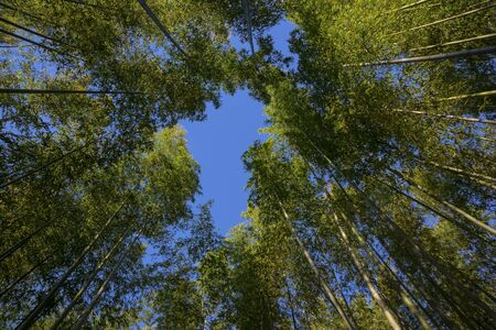 Tall bamboo forest covers the sky Standard-Bild - 130664485