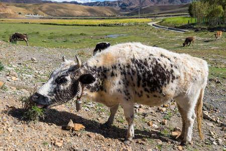 Cows on Alpine Farm Standard-Bild