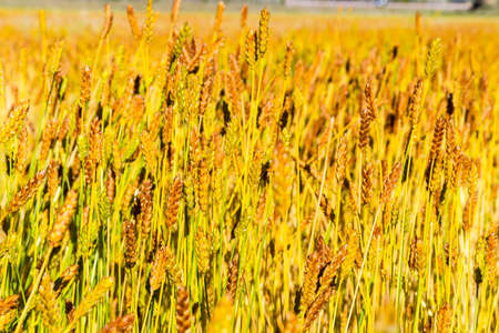 Golden wheat field in the sun Standard-Bild