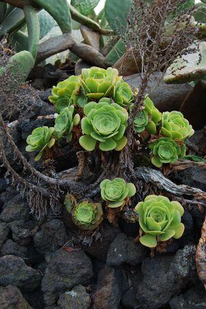 eolie: Aeonium Kornelius lems Stock Photo