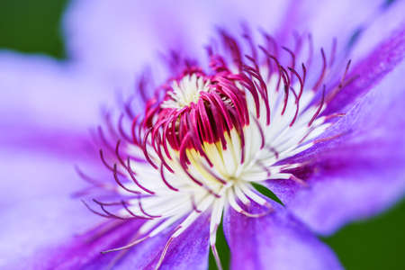 Macro into the center of the beauty of a purple flower. Close up