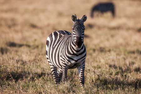 african plains zebra on the dry brown savannah grasslands browsing and grazing. focus is on the zebra with the background blurred, the animal is vigilant while it feeds Stok Fotoğraf