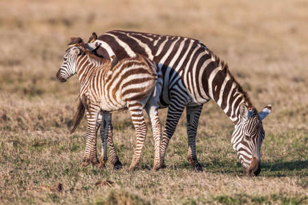 African Zebra Baby and Mother on the dry brown savannah grasslands browsing and grazing Stock Photo