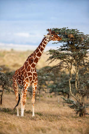 herbivores: African giraffe standing near the tree in savannah. These graceful And pretty animals are herbivores and love acacia leaves