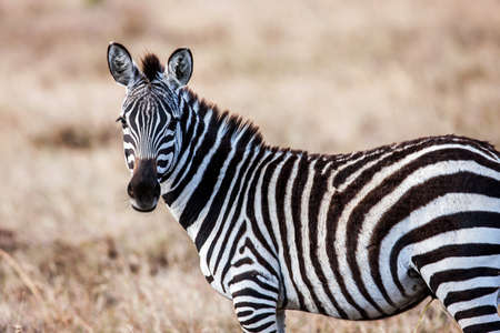 Close portrait of the zebra curiously looking at camera, Africa