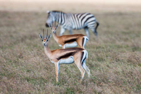 Antelopes and zebra on a background of grass. Safari in Africa.