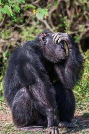 Portrait of a Common Chimpanzee in the wild, Africa Archivio Fotografico