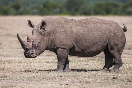 Rhinoceros grazing in the wild. The white rhinoceros or square-lipped rhinoceros is the largest species of rhinoceros with mouth