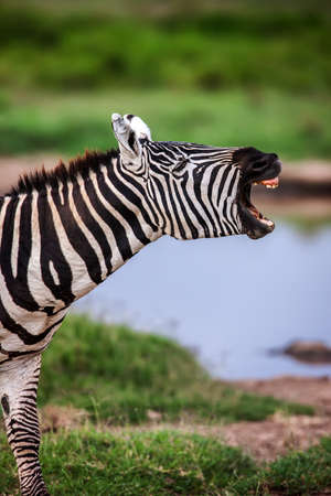 mouth close up: Zebra with its mouth wide open as if it were shouting. Close up. Stock Photo