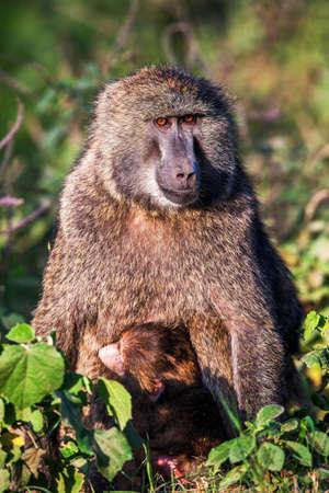 Chacma baboon (Papio cynocephalus ursinus), Kruger National Park, South Africa