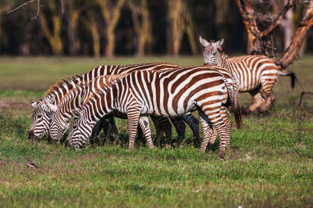 Zebra was eating grass as its food on the dry brown savannah grasslands browsing