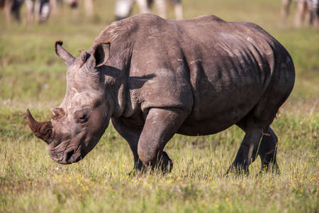 living organism: Rhinoceros grazing in the wild. The white rhinoceros or square-lipped rhinoceros is the largest species of rhinoceros with mouth Stock Photo