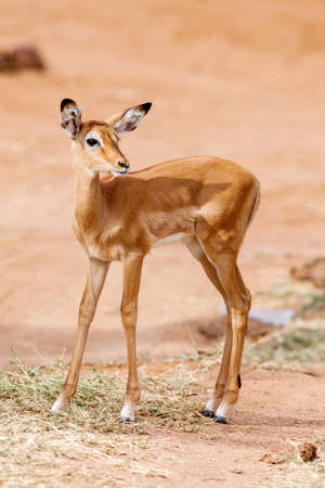 A young Impala baby stands and watching other Impala antelopes in a game reserve in South Africa.