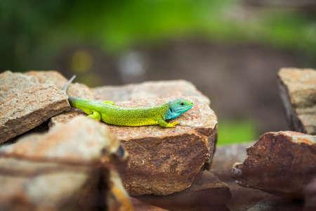 Green emerald glossy gecko lizard sunbathing on a rock during a hot sunny summer day