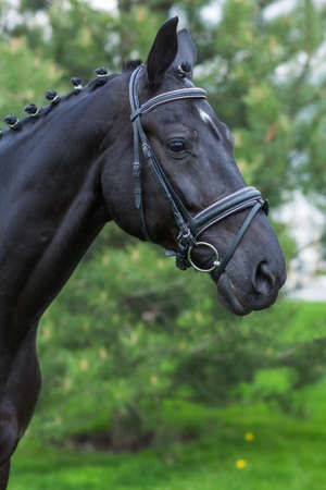 Gorgeous horse stallion portrait in the summer against greenery. Close-up Stok Fotoğraf