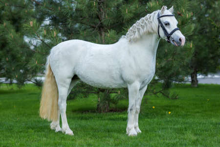 Beautiful white horse portrait at the pasture agaist greenery in summer