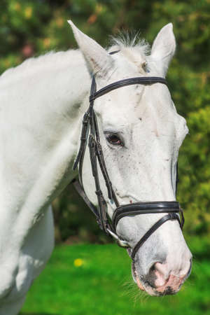 Close-up of white horse at the pasture agaist greenery in summer
