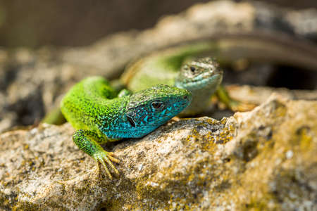 lacerta: Two green emerald glossy geckos lizards sunbathing on a rock during a hot sunny summer day Stock Photo