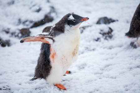Beautiful gentoo penguin on the snow in Antarctica. Close-up Stock Photo