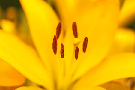 A closeup view with selective focus emphasis on the pistil and stamens inside a yellow lily.