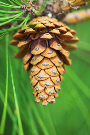 Large pine cone hanging from a branch of pine tree on green needles background. Close-up