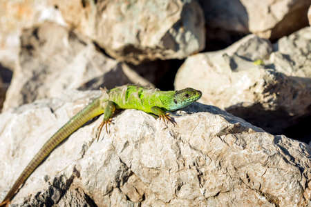 European green lizard - Lacerta viridis. sheds its skin Stock Photo