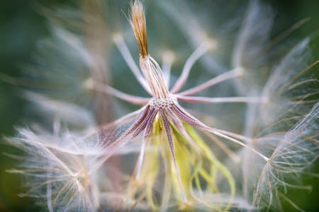Salsify, Tragopogon dubius. Side view. Macro. 스톡 콘텐츠