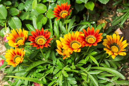 Gazania flowers colored yellow and Red Reklamní fotografie
