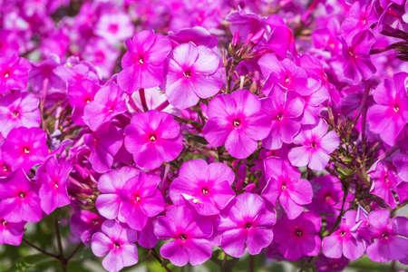 blooming Phlox paniculata Adessa Special Purple Sta
