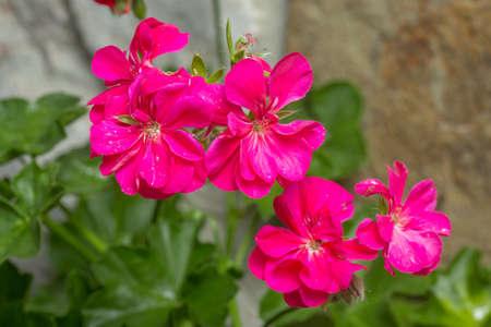 Geranium (pelargonium) flowers