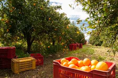 Red and yellow plastic fruit boxes full of oranges by orange trees during harvest season in Sicily